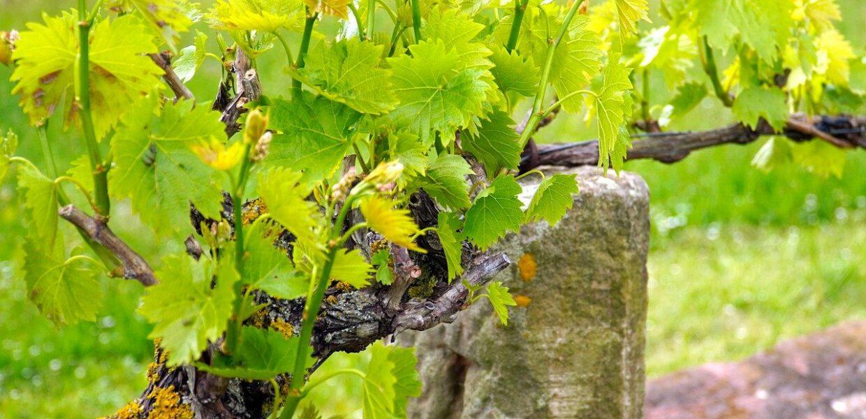 vines-5131577_1280